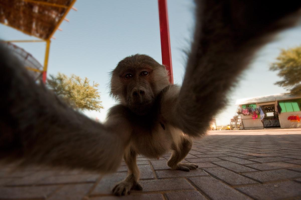 Dubai Monkey